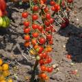 Томат Самый Маленький В Мире (World`s Smallest) /20 семян/ *Частная коллекция*