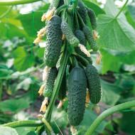 Огурец Нибори (KS 90) F1 /50 семян/ *Kitano Seeds*