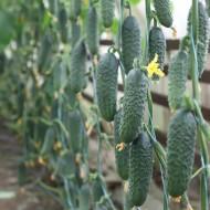Огурец KS 84 F1 /50 семян/ *Kitano Seeds*