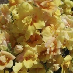 Львиный зев Твинни F1 желтый с прожилками /100 семян/ *Hem Genetics*