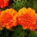 Бархатцы французские Малыш оранжевые /10 грамм/ *Hem Zaden*