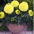 Бархатцы африканские Антигуа F1 ванильные /100 семян (драже)/ *Syngenta Seeds*