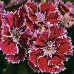 Гвоздика Фанданго F1 кримсон пикотэ /100 семян/ *Syngenta Seeds*