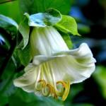 Кобея Белые паруса /100 семян/ *Hem Zaden*