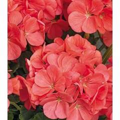 Пеларгония зональная Мультиблум F1 капри /100 семян/ *Syngenta Seeds*
