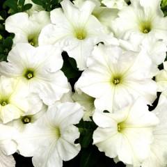 Петуния карликовая грандифлора Браво F1 белая /1.000 семян/ *Syngenta Seeds*