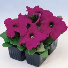 Петуния карликовая грандифлора Браво F1 пурпурная /1.000 семян/ *Syngenta Seeds*