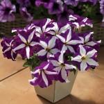 Петуния карликовая грандифлора Браво F1 пурпурная звезда /1.000 семян/ *Syngenta Seeds*