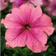 Петуния карликовая грандифлора Браво F1 розовая /1.000 семян/ *Syngenta Seeds*