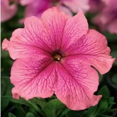 Петуния Браво F1 розовая /1.000 семян/ *Syngenta Seeds*