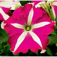 Петуния карликовая грандифлора Браво F1 розовая звезда /1.000 семян/ *Syngenta Seeds*
