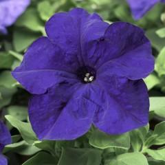 Петуния карликовая грандифлора Браво F1 синяя /1.000 семян/ *Syngenta Seeds*