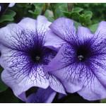 Петуния карликовая грандифлора Браво F1 синяя с прожилками /1.000 семян/ *Syngenta Seeds*