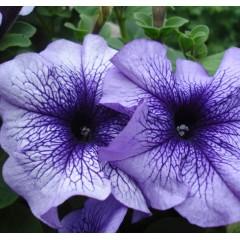 Петуния Браво F1 синяя с прожилками /1.000 семян/ *Syngenta Seeds*