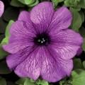 Петуния карликовая грандифлора Браво F1 сливовая /1.000 семян/ *Syngenta Seeds*