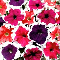 Петуния карликовая грандифлора Фрост F1 смесь /1.000 семян/ *Syngenta Seeds*