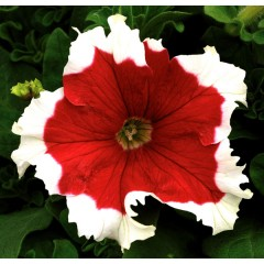 Петуния карликовая грандифлора Фрост F1 красная /1.000 семян/ *Syngenta Seeds*