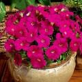 Петуния миллифлора Пикобелла F1 карминовая /200 семян/ *Syngenta Seeds*