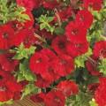 Петуния Пикобелла F1 красная /200 семян/ *Syngenta Seeds*
