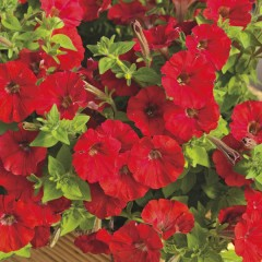 Петуния миллифлора Пикобелла F1 красная /200 семян/ *Syngenta Seeds*