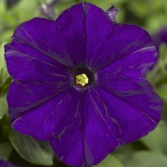 Петуния Пикобелла F1 синяя /200 семян/ *Syngenta Seeds*