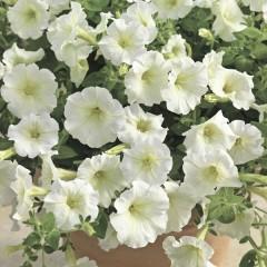 Петуния миллифлора Пикобелла F1 белая /200 семян/ *Syngenta Seeds*