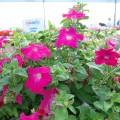 Петуния Самба F1 розовая /100 семян/ *Hem Genetics*