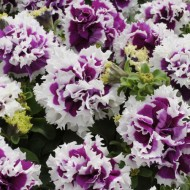 Петуния каскадная махровая грандифлора Пируэт F1 пурпурное пикотэ /200 семян/ *Pan American*