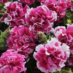 Петуния каскадная махровая грандифлора Пируэт F1 розовое пикотэ /200 семян/ *Pan American*
