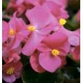 Бегония Варсити F1 (бордовый лист) розовая /1.000 семян/ *Syngenta Seeds*