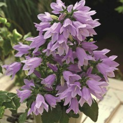 Колокольчик длиннопестиковый Изабелла F1 синий /1.000 семян/ *Syngenta Seeds*