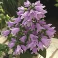 Колокольчик длиннопестиковый Изабелла F1 синий /100 семян/ *Syngenta Seeds*