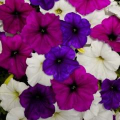 Петуния ампельная Изи Вэйв F1 Грейт Лейкс смесь (фиолетовая, синяя, белая) /100 семян/ *Pan American*
