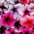Петуния карликовая грандифлора Ультра F1 смесь с прожилками /1.000 семян/ *Syngenta Seeds*