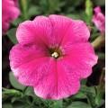 Петуния карликовая мультифлора Ура F1 малиновая с прожилками /1.000 семян/ *Syngenta Seeds*