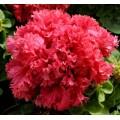 Петуния каскадная махровая грандифлора Валентайн F1 красная /500 семян (драже)/ *Pan American*