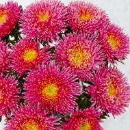 Астра Арлекин розовая /5 грамм/ *Satimex*