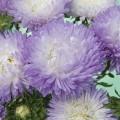 Астра Балун серебряно-синяя /1.000 семян/ *Satimex*