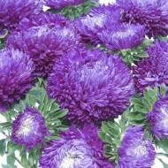 Астра Балун фиолетовая /1.000 семян/ *Satimex*
