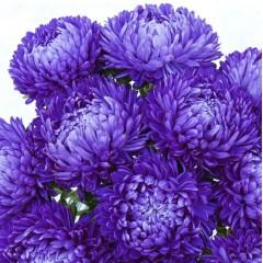Астра Леди Коралл синяя /1.000 семян/ *Satimex*