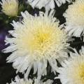 Астра Си Старлет кремово-белая /1.000 семян/ *Satimex*