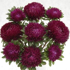 Астра Сиринга пурпурная /1.000 семян/ *Satimex*