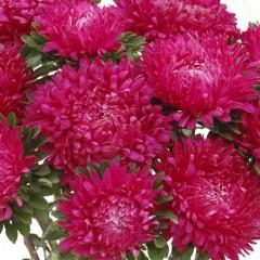 Астра Сиринга темно-розовая /1.000 семян/ *Satimex*