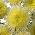 Астра Шанхайская Роза желтая /1.000 семян/ *Satimex*