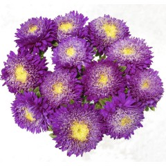 Астра Шанхайская Роза синяя /1 грамм/ *Satimex*