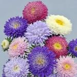 Астра Шанхайская Роза смесь /1.000 семян/ *Satimex*