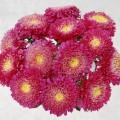 Астра Шанхайская Роза темно-розовая /1.000 семян/ *Satimex*