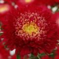Астра Шанхайская Роза красная /1 грамм/ *Satimex*