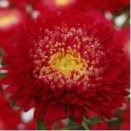 Астра Шанхайская Роза красная /1.000 семян/ *Satimex*