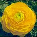 Ранункулюс Меджик F1 желтый /50 семян/ *Syngenta*